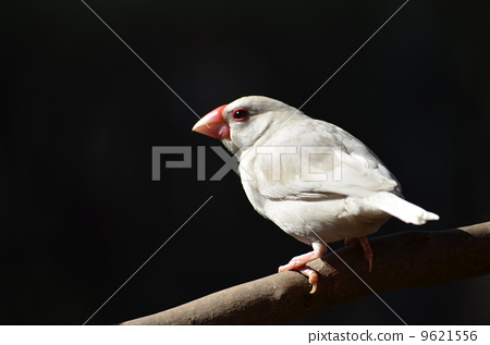 White Stone Bird (Hakubuncho) 9621556
