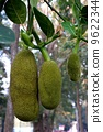 Jack fruit Authentic fruit of Thailand 9622344