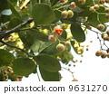 Masaki开始看到种子,果实成熟并清除,并覆盖着橙红色的临时种皮 9631270