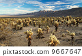 cholla, california, cactus 9667647