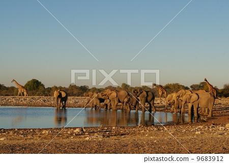 埃托沙國家公園大象和長頸鹿 9683912