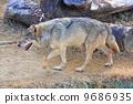 欧洲狼 9686935