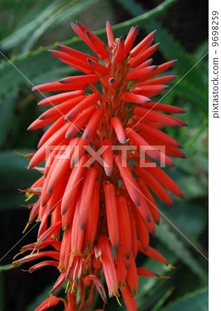 Red Aloe Ciliaris Flower 9698259