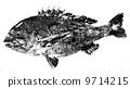 Kurodai的魚 9714215