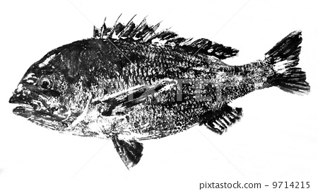 Kurodai's fish 9714215
