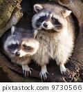 animal, amusing, racoon 9730566