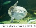 Ocean sunfish (Mola mola) in captivity 9730919
