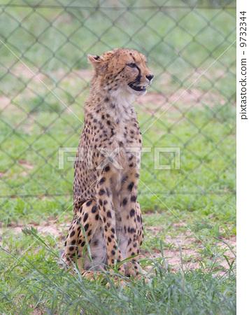 Cheetah in captivity 9732344