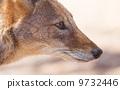 mammal jackal carnivores 9732446
