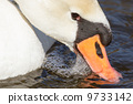 Close-up of an eating swan 9733142