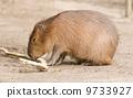 水豚 吃 棕色 9733927