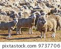 牲畜 家畜 兽群 9737706