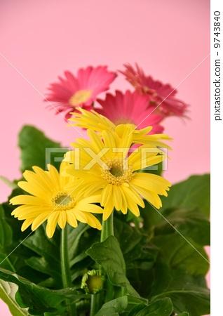 粉色和黃色的非洲菊花瓣 9743840