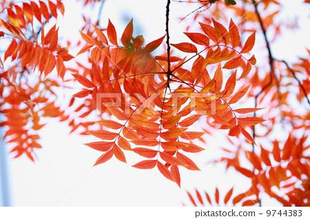 Red leaf 9744383