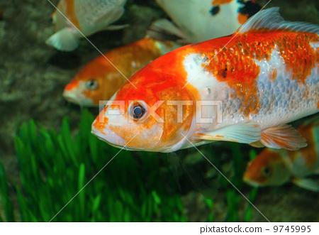 Gold fish 9745995