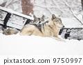 หมาป่า 9750997