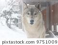 หมาป่า 9751009