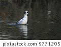生き物 鳥類 ミコアイサ(オス)の伸び 9771205