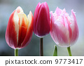 꽃, 튤립, 이노 9773417