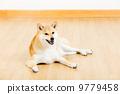 柴犬 狗 狗狗 9779458