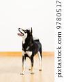 动物 柴犬 狗 9780517