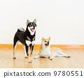 动物 柴犬 狗 9780551