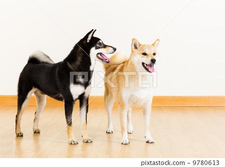 Two shiba dogs 9780613