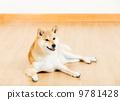 动物 宠物 柴犬 9781428
