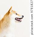 animal pet shiba-inu 9781827