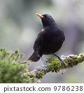 branch, wildlife, blackbird 9786238