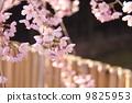 樱花 樱桃树 花朵 9825953