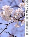 樱花 花朵 花卉 9825955