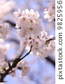 꽃, 벚꽃, 하늘 9825956
