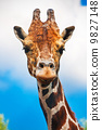 giraffe, animal, neck 9827148