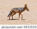 jackal black-backed african 9832926