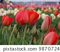 Tulip 9870724