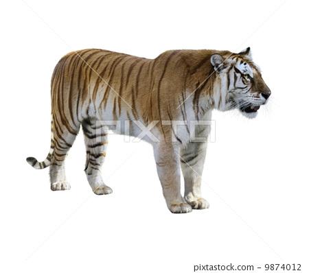 Tiger 9874012