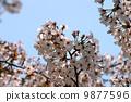 만개 한 벚꽃 9877596