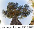pine, america, giant 9935902