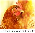 bird, chick, bio 9939531