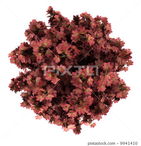 top view of red maple tree isolated on white background 9941410