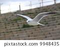 migratory, bird, seagull 9948435