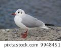 migratory, bird, seagull 9948451