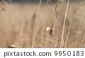 生き物 鳥類 冬枯れの芦原とオオジュリン 9950183