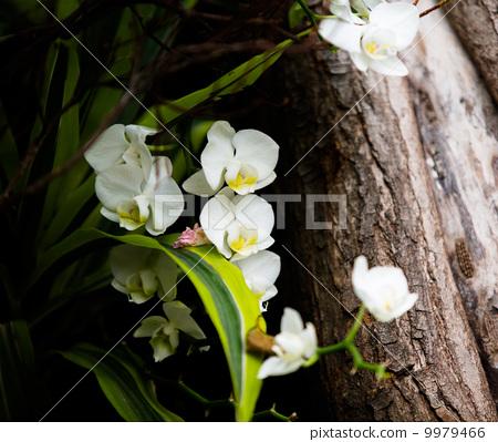 樹邊生長的蝴蝶蘭 9979466