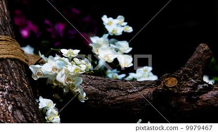 树边的蝴蝶兰 9979467
