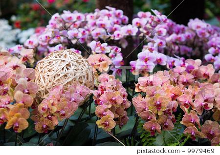 蝴蝶蘭與竹籠 9979469