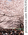 벚꽃이 만개 한 우에노 공원 9982595