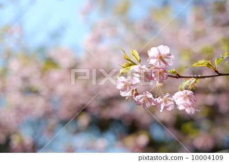 櫻桃樹 10004109