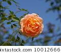 玫瑰 玫瑰花 花朵 10012666